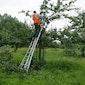 Zomersnoei in de hoogstamboomgaard