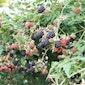 Infoavond ecologische fruithaag