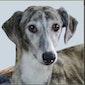 1ste Vibora for friends windhondenwandeling t.v.v. Greyhounds in nood Belgium