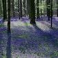 Hyacintenwandeling in het Hallerbos
