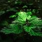 Eetbare planten en groene smoothies maken