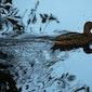 Watervogels beloeren aan de Bergelenput