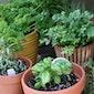Kruiden kweken in potten