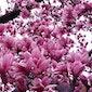 Dappere Magnolia's