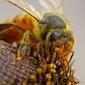 Het bijenleven