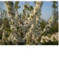 Hagelands bloesemweekend-nocturnewandeling langs sfeervol verlichte fruitplantages