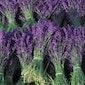 Kruidenworkshop - prachtig blauwe lavendel