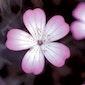 Begeleide zondagswandeling juni : Wilde planten in de Plantentuin Meise