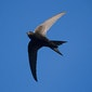 Zwaluwenwandeling in Wervik