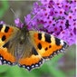 'Vlinder mee' in Pikhakendonk