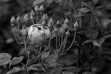 Workshop: Fotografie van bloemen in zwartwit