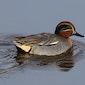 Cursus : Watervogels