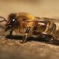 Infoavond over bijen