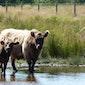 Het veld van de stieren