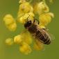 Lezing : De wonderlijke wereld van wilde bijen 1 (Retie)