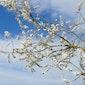 Zinnenprikkelende en geanimeerde bloesemwandeling in Hoksem, Hauthem en Meldert