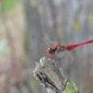 Libellen zomerwandeling in Tösch-Langeren