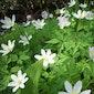 Voorjaarsflora in Wormelaar (Zemst)