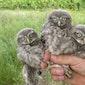 Owls of the rings-excursie: kerk- en steenuilen ringen