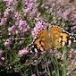 Vlinders in het landschap