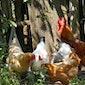 Voor elke tuin een geschikte kip