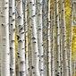 Workshop schilderen : structuur - berkenbomen