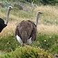 Geleid bezoek aan struisvogelboerderij