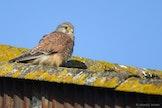 Roofvogels spotten in de Uitkerkse Polder