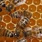 Lezing : Honing, zoete verhaaltjes voor het slapengaan (Essen)