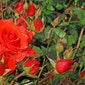 Workshop 'rozen snoeien' 2018