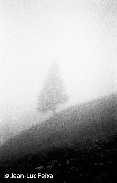 grofkorrelige boom op helling in de mist