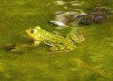 Amfibieën in de Uitkerkse Polder