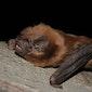 Vleermuizenavond in Papegembos Lede