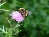 Vlinders en hun waardplanten
