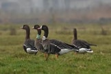 Fietstocht: Op zoek naar de wilde ganzen