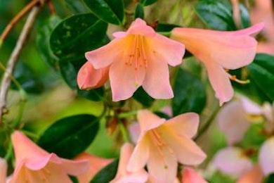 De rododendrons bloeien