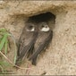 herstellen wand voor oeverzwaluw