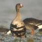 Fietstocht: op zoek naar wilde ganzen