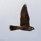 Trekvogels spotten