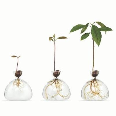 Avocado/Design voor zaad