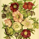 Workshop botanisch tekenen/aquarel - Helleborus