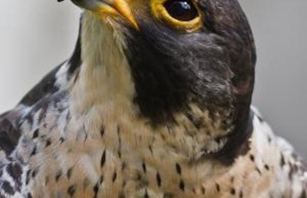 Cursus: Roofvogels (Beringen)