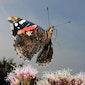 Met Vlinderwerkgroep Atalanta op zoek naar vlinders, libellen en andere insecten in de Oude landen