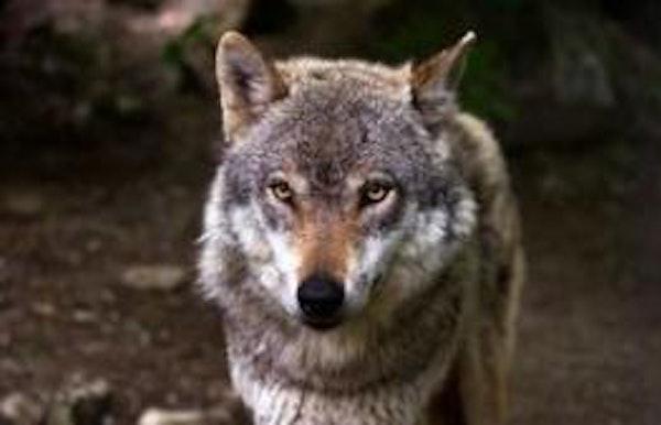 Wandeling in het spoor van de wolf in het Turnhouts Vennnengebied