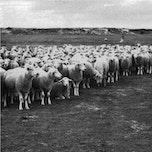 Tentoonstelling: Herders in de Zwinstreek